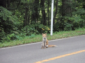 北海道大沼國家公園 瘦巴巴的白目狐狸逛馬路